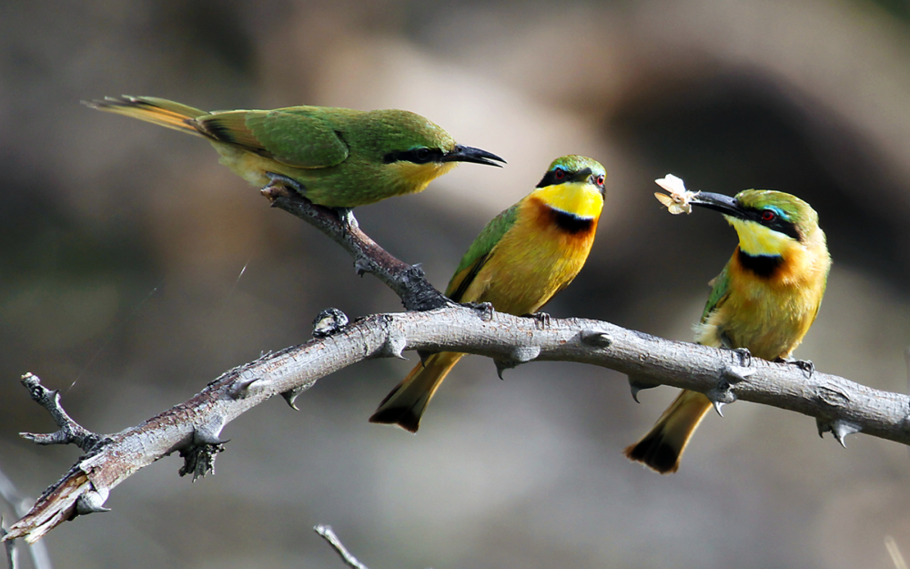 adunkley_cat3-bee-eaters-feeding_9679