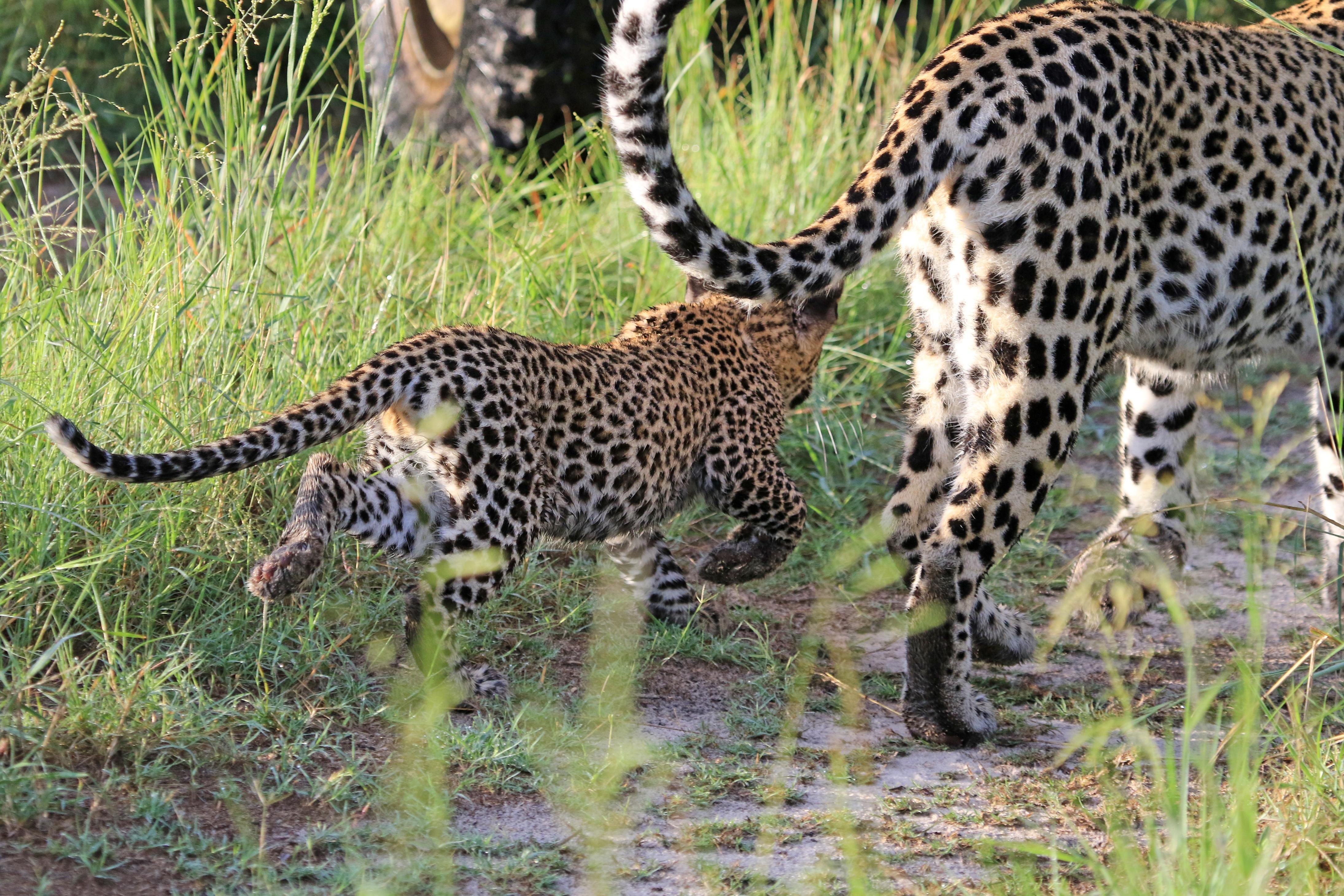 E.Landmann.Cat4leopards