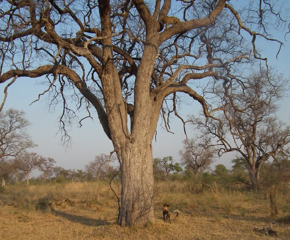 zilstorff-wild_dog_chased_a_leopard_up_in_a_tree