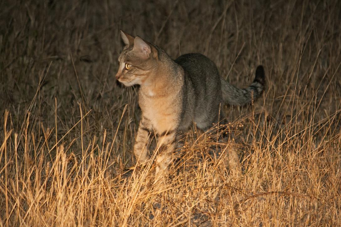 DMessom.Mammals.AfricanWildcat.100735-Lebala