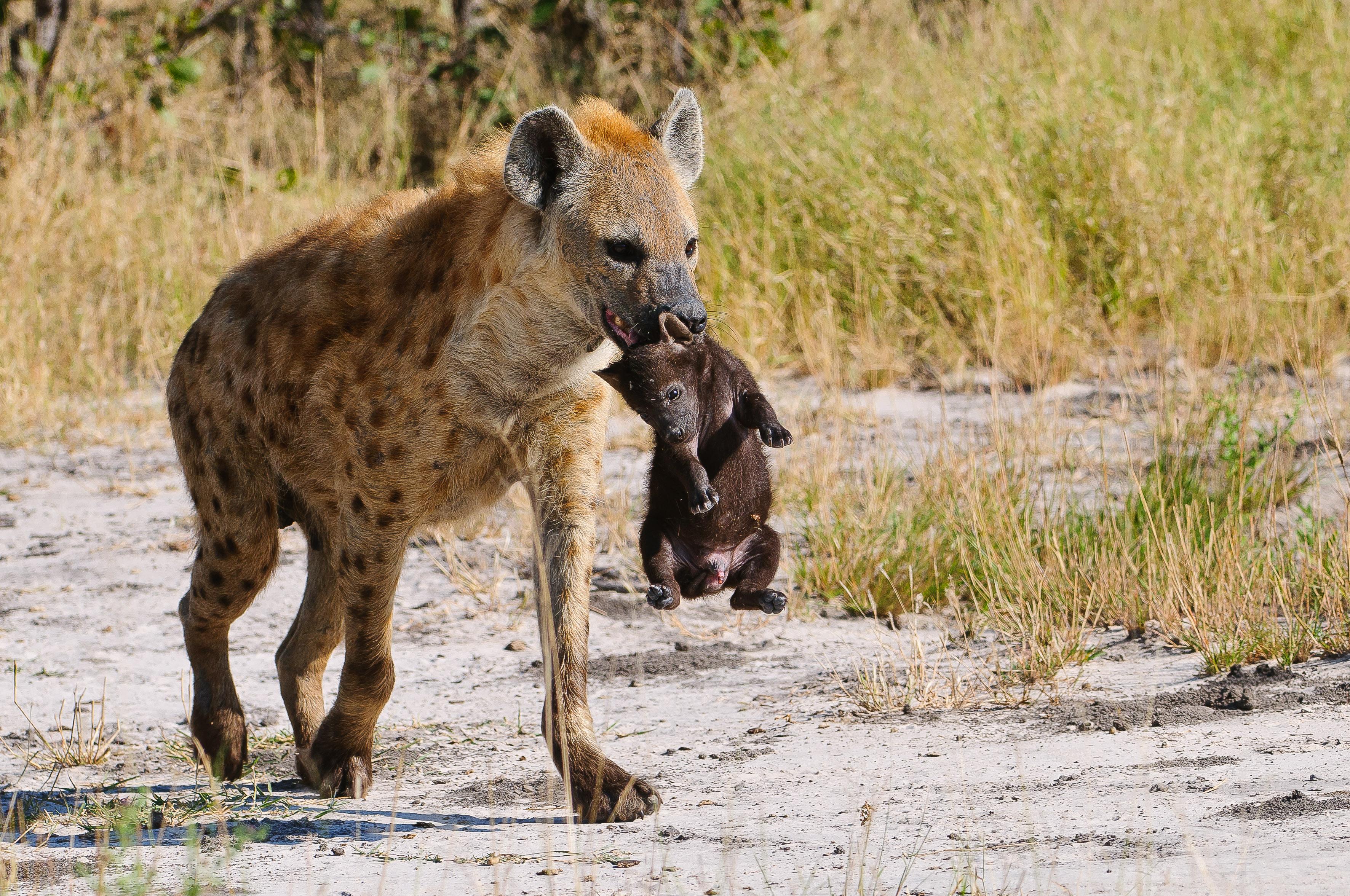 davidlloyd-cat7-hyena