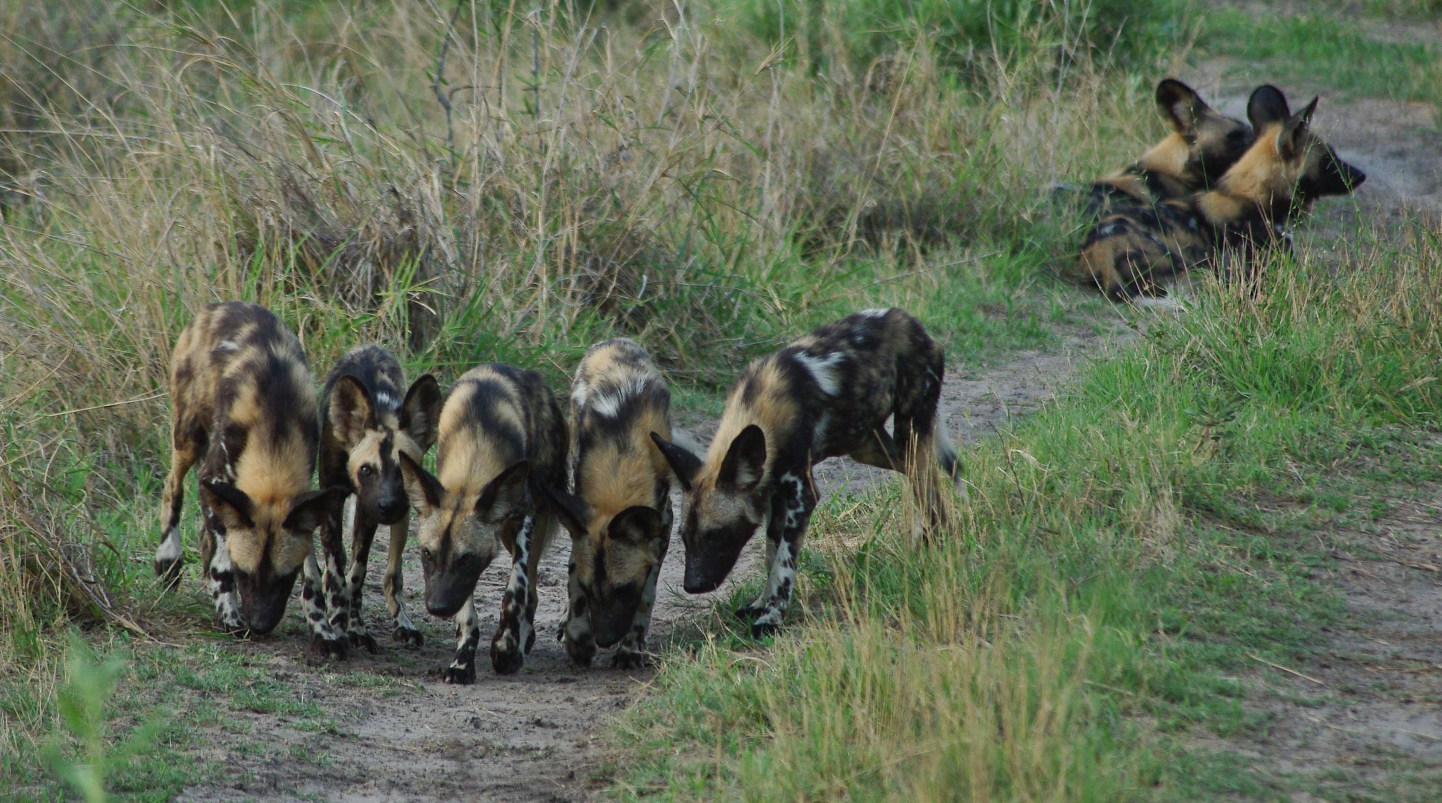 DMysak.Cat2wilddogs-lagoon