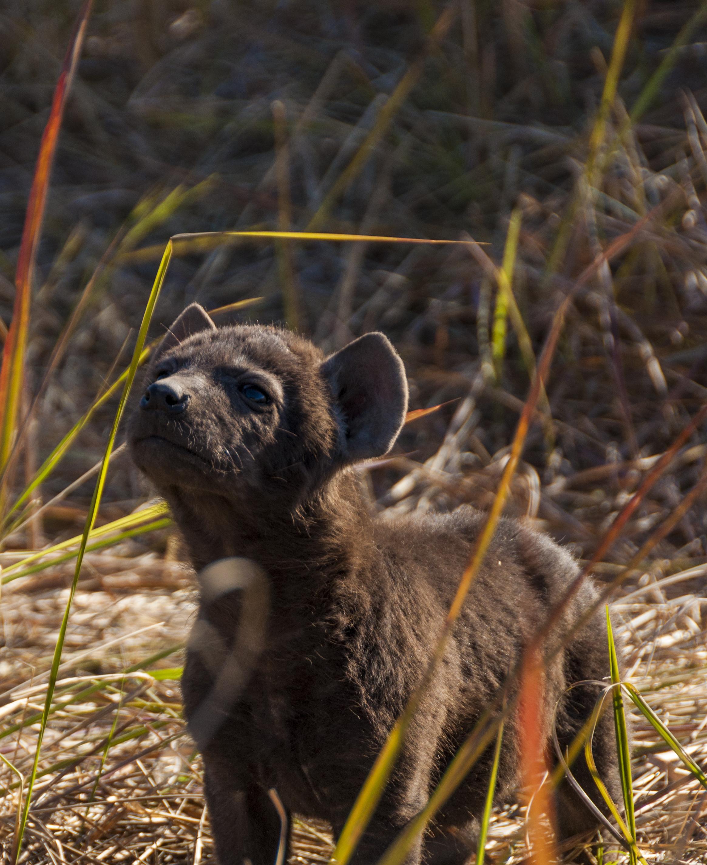IvanaLjolje.Cat7.hyena-KWARA