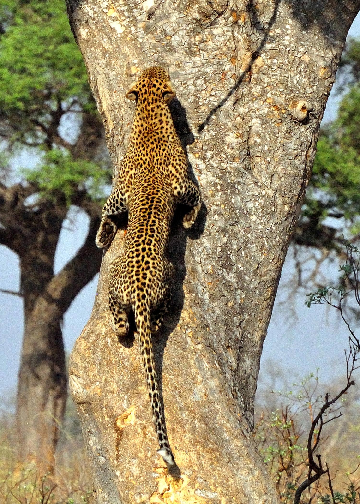 M.Nash-Big Five-Leopard-Nikon D90 LEBALA