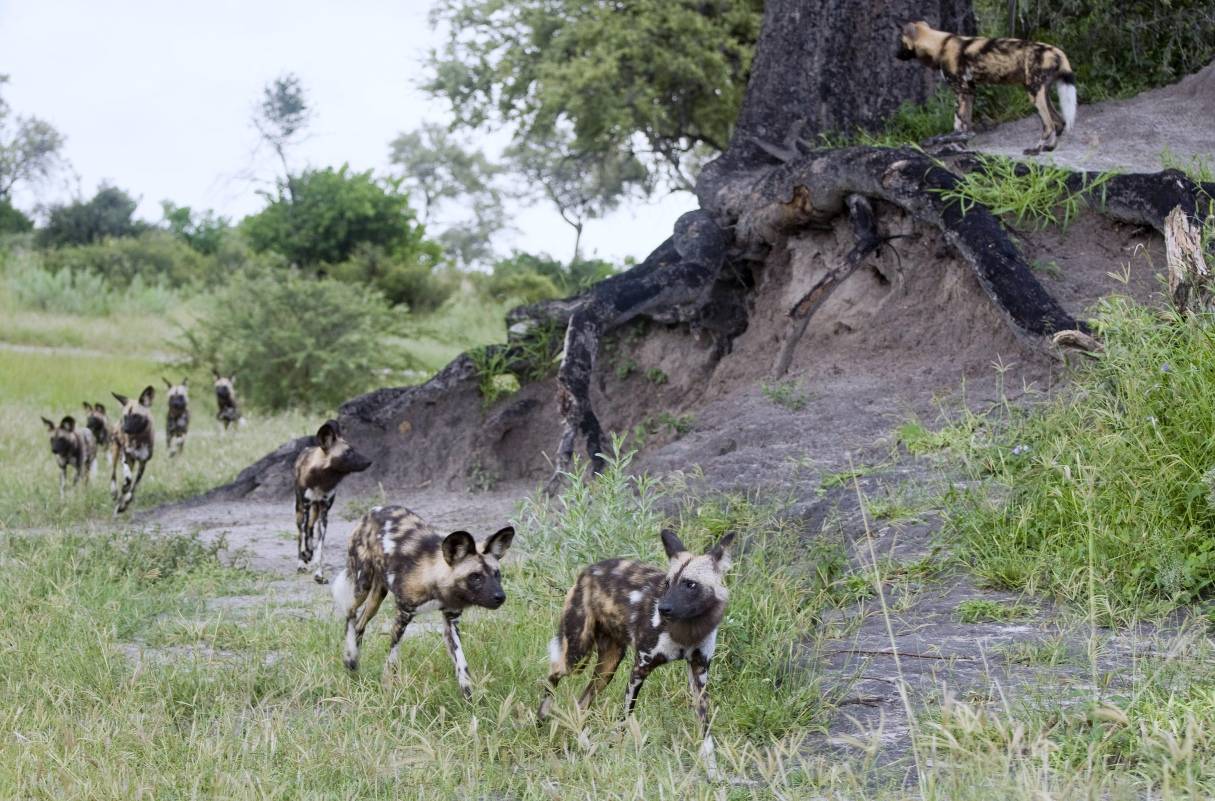 M.Nash-Mammals-Wild Dogs2.jpg